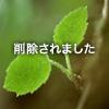 カマキリの投稿写真。タイトルは蓮の葉の日陰で涼をとるカマキリ
