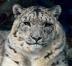 最後の雪豹
