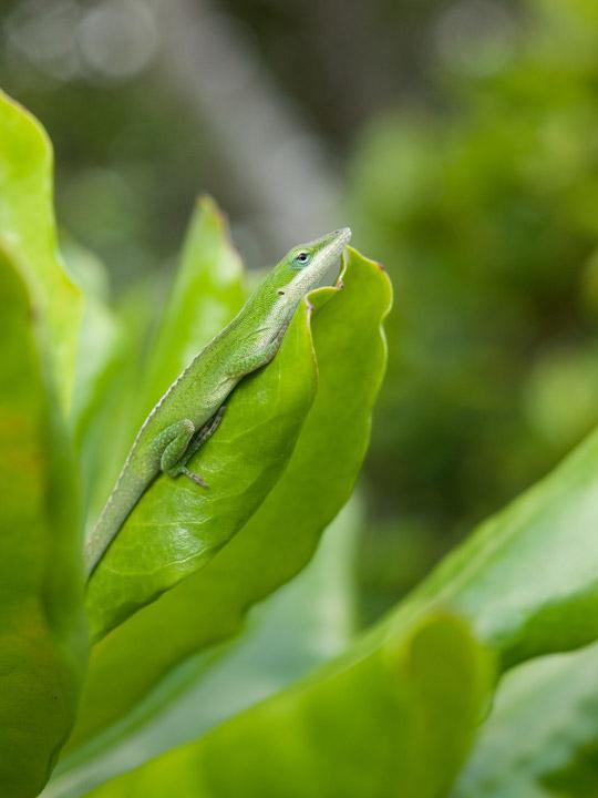 グリーンアノールの画像 p1_32